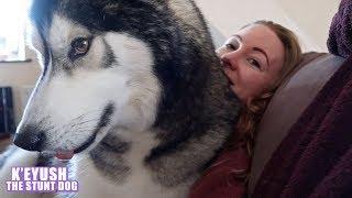 39kg-husky-thinks-he-s-a-lapdog