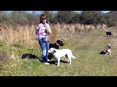 Copy of E Collar Pager Introduction Giant Schnauzer Meiska Dogtra Plus Dallas and Deaf Dog Delbertt