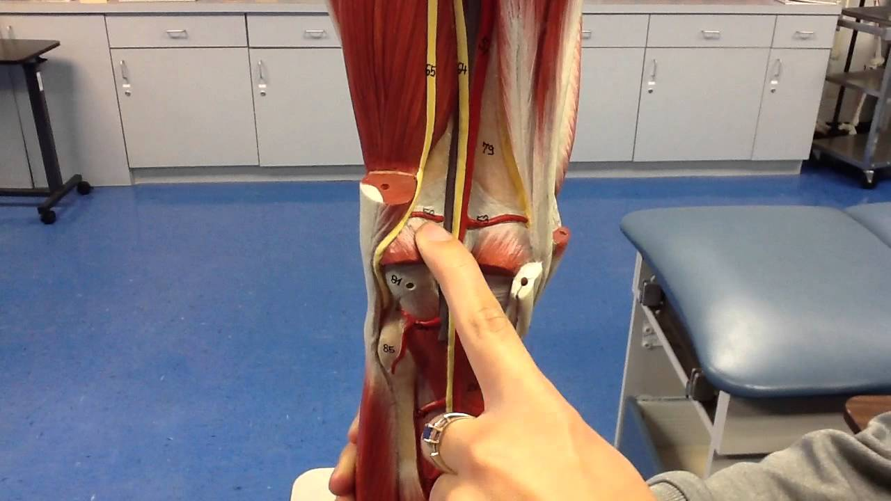 Leg Veins Arteries Nerves Youtube