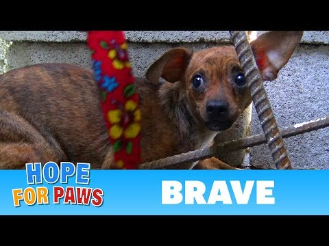 After being used for breeding, little Brave was abandoned on the streets.