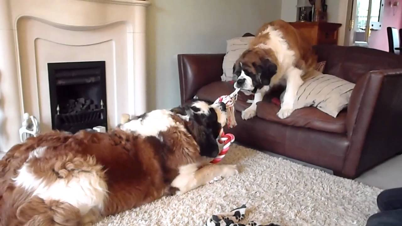st bernard george and molly play fighting - YouTube
