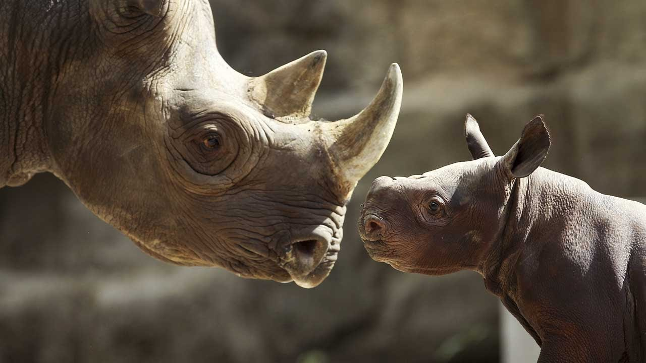 Free Hd Cute Baby Wallpaper Baby Rhino Makes Its Debut At Lincoln Park Zoo Youtube