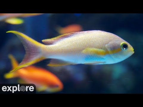 Wrasse and Anthias Fish Cam powered by EXPLORE.org