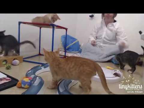 Tiny Kittens Snuggler visits aussie kittens 6 26 2017