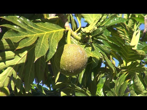 The `Ulu Fruit