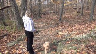 Hiking with Lucy Lakeland Terrier