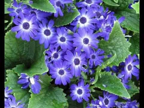 Цинерария обильноцветущее растение.