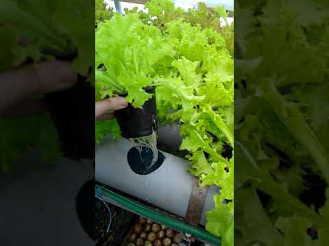 Выращивание салата в зимний период методом гидропоники (в теплице)