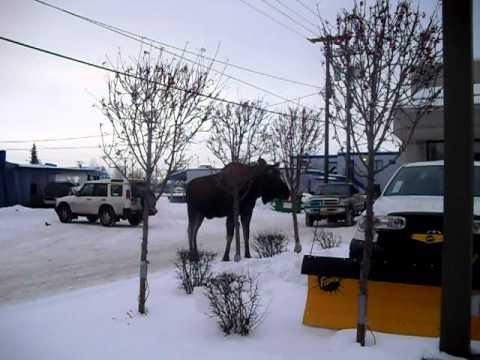 ALASKA CITY MOOSE