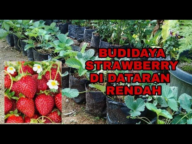 Cara Budidaya Strawberry Di Dataran Rendah Youtube