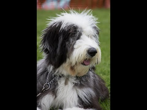 Old English Sheepdog Benji Growing up......