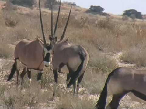 Fighting Gemsbok. Kgalagadi - YouTube