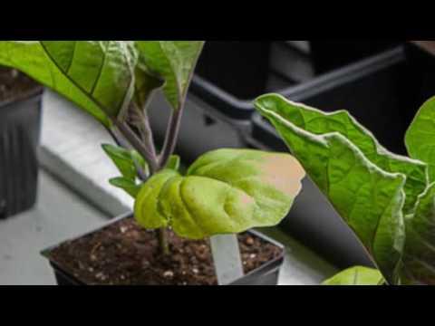 Почему желтеют листья у рассады баклажанов | баклажанов | баклажаны | рассады | рассада | желтеют | верхние | почему | нижние | листья | делать