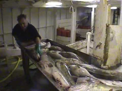 Cod Fishing In The Irish Sea On The