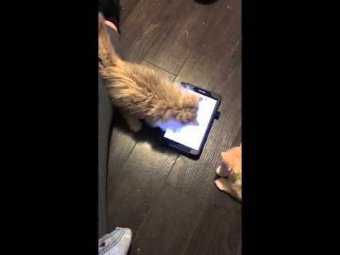 MAKINWAVES SELKIRK REX - selkirk kittens