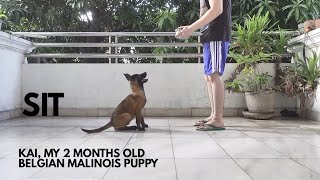 Belgian Malinois Puppy Training | Basic Obedience/ Basic Commands Part 1