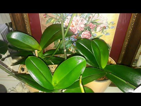 Самый простой и дешевый способ для роскошного блеска листьев орхидеи