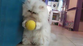 16 12 21 Persian kitten, Sitka, and her yellow ball