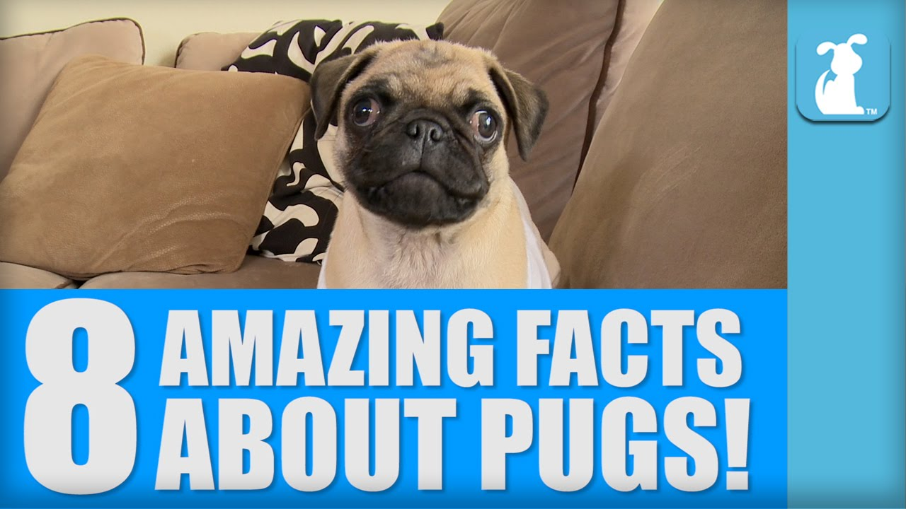 8 Amazing Facts About Pugs Youtube