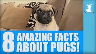 8 Amazing Facts About Pugs