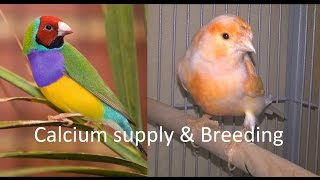 How to take care of Gouldian finches and Canaries. Calcium supply & Breeding. Part 5
