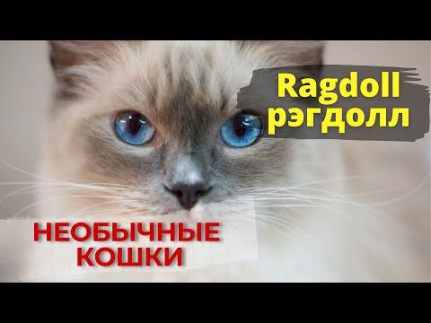 """Ragdoll - большая и пушистая ЛЕНЬ. (Кошки породы """"рэгдолл"""")"""