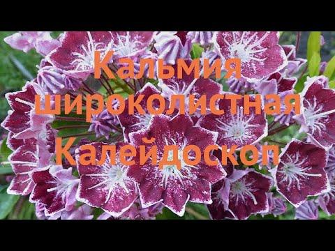 Вопрос: Кальмия широколистная, что за растение, как можно использовать?
