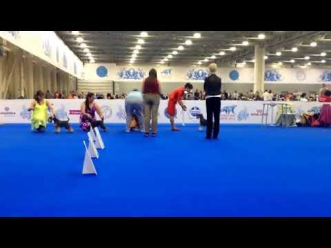 25.06.2016 SPECIALITY Miniature schnauzers p/s, best of breed competition.