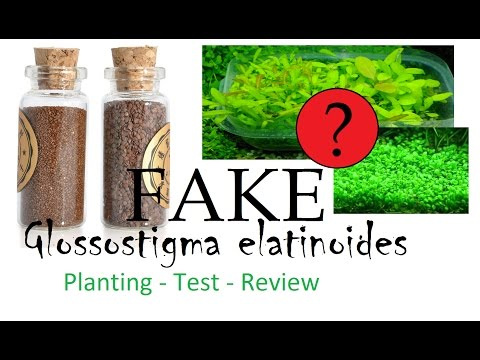 Fake? Glossostigma elatinoides seed from eBay - Planting, Test, Review (Freshwater plant, Scaping)