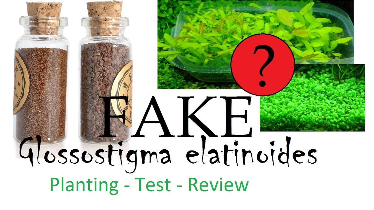 Fake Glossostigma Elatinoides Seed From Ebay Planting Test