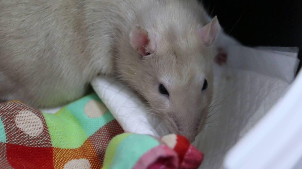 A 2-year-old pet rat has pneumonia Pt 2