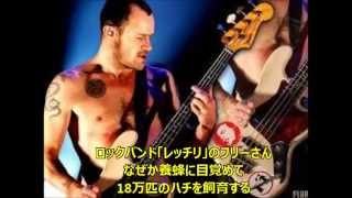 アメリカのロックバンド「レッド・ホット・チリ・ペッパーズ」のベーシ...