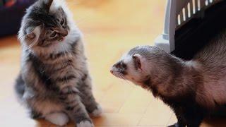 Xорек и кошка смешные животные звери видео июнь 2016