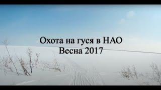 Охота на гуся в НАО весна 2017