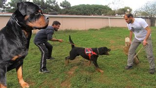 ROTTWEİLER ! ŞAMPİYON KÖPEKLER - Rottweiler Köpek Eğitimi ve Efsane Rottweiler ırkı Köpekler -