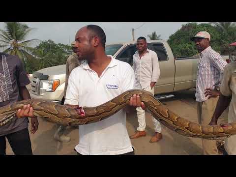 BOA GIANT SNAKE CAMEROON AFRICA🐍BOA SERPENT GEANT D'AFRIQUE CAMEROUN