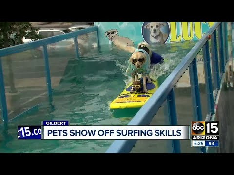 Surfing dogs and cats in Gilbert!