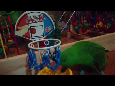 Male Red Sided Eclectus Parrot (Dexter) playing basketball