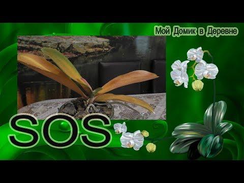 SOS!!!! Помогите советом ! Орхидея погибает !!!!