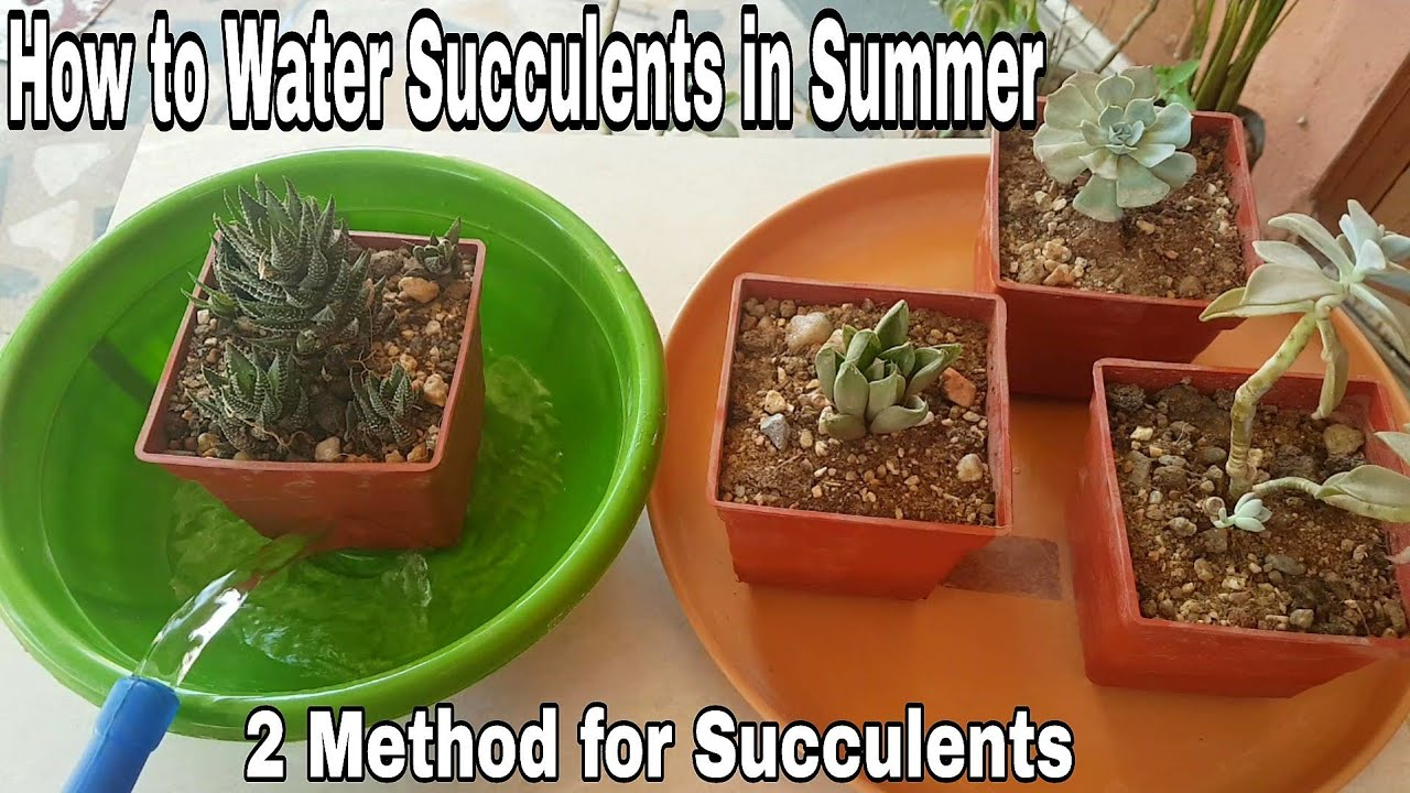 How To Water Succulents In Summer Season Succulents Watering Tips