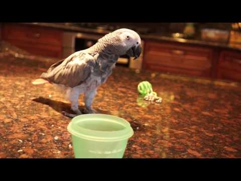 Twinkle the African Grey Parrot  training