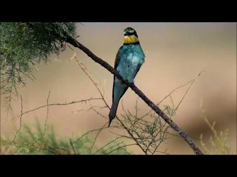 European bee-eater (Merops Apiaster) Μελισσοφάγος