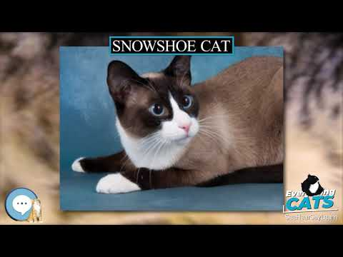 Snowshoe cat 🐱🦁🐯 EVERYTHING CATS 🐯🦁🐱