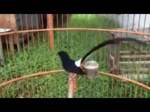 kicau burung murai batu thailand   youtube