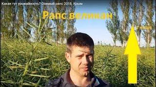 Какая тут урожайность? Озимый рапс 2018. Крым