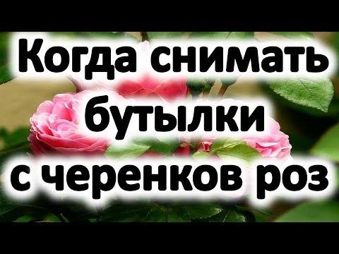 Розы из черенков. Когда снимать бутылки с черенков роз весной