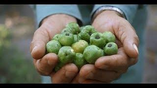 安麗總部搶鮮報  巴西農場培育最佳的針葉櫻桃