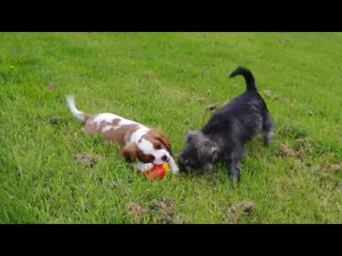 Cavalier and Miniature Schnauzer pup playing