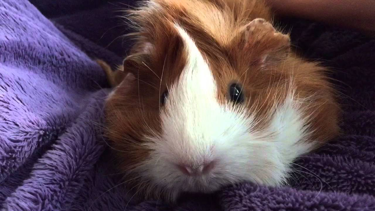 Guinea pig Puffy fluffy couch time - YouTube