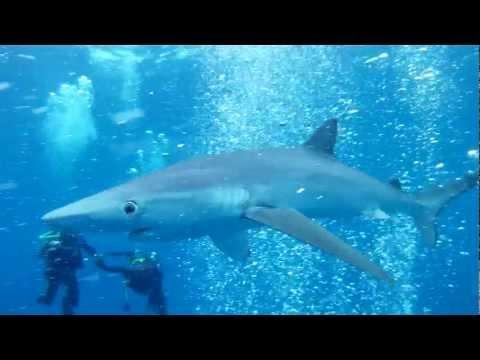 Blue Shark Diving - Cape Town